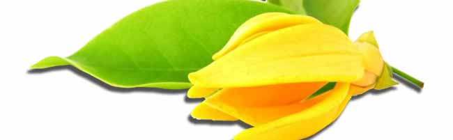 Essential oils Ylang ylang