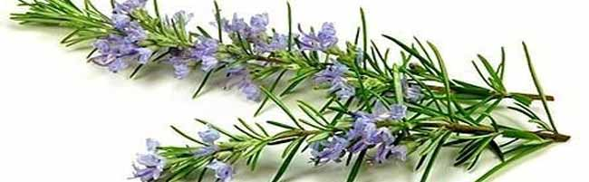 Essential oils Rosemary