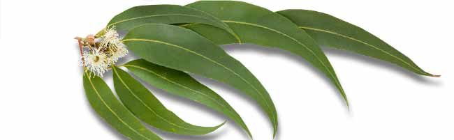 Essential oils Eucalyptus citriodora
